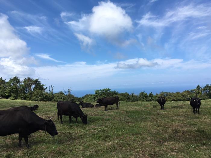 大峯山の牛