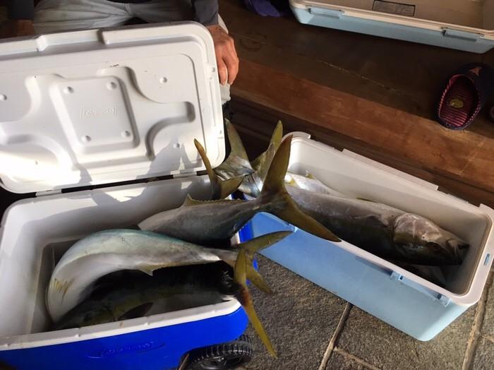 大漁のヒラマサ ブリ