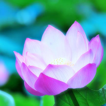 lotus蓮の花